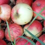O jablkách
